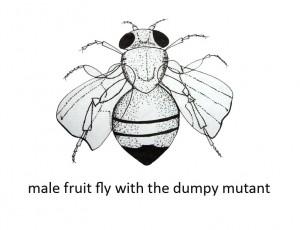 dumpy-fruit-fly-